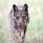Presentazione Un cuore tra i lupi – Gaggio Montano 26 ottobre 2013 ore 16,30