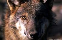 Presentazione I grandi predatori dell'Appennino e del libro Un cuore tra i lupi – Casalecchio di Reno 29 novembre 2013