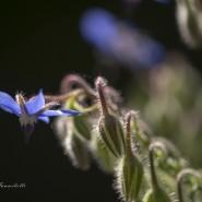 Borragine, Borago officinalis