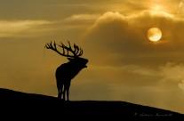 Cervo nobile