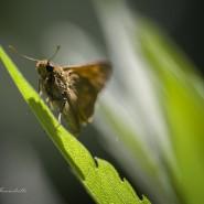 Hesperiidae butterfly