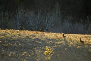 Femmine di cervo nobile, Cervus elaphus La luce bassa del sole mette in evidenza i soggetti