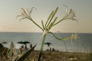 Giglio di mare, Pancratium maritimum Un controluce, il mare, gli ombrelloni e un colpo di flash di schiarita. Se al mare vi annoiate portatevi la vostra reflex e un obiettivo normale.