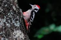 Picchio rosso mezzano, Dendrocopos medius
