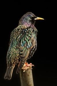 Storno, Sturnus vulgaris Questo uccello appare normalmente nero e insignificante ma con la giusta direzione della luce il piumaggio mostra tutto il suo splendore