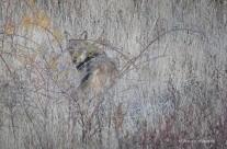 Come fotografare i lupi