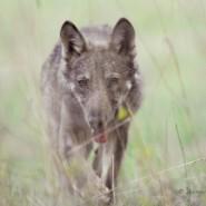 La danza del lupo