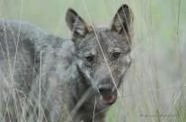Conferenza stampa: I lupi alle porte di casa: quali pericoli per l'uomo? 7 dicembre 2013
