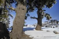 Pinus leucodermis alla Grande Porta del Pollino