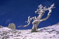 Tronco pietrificato di pino loricato sulle vette del Pollino