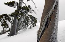 Pinus leucodermis a serra Crispo