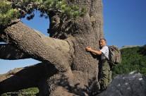 L'energia potente del più grande pino loricato