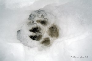 Impronta, Canis lupus