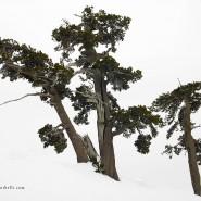 Pini loricati nella neve a Serra Crispo