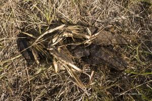 Erba in escremento che potrebbe essere di lupo ripresa in provincia di Bologna