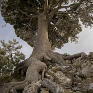 Pino Loricato abbarbicato sulle rocce più impervie di Serra delle Ciavole