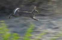 Coniglio selvatico, Oryctolagus cuniculus