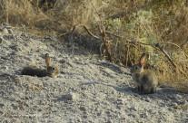 Coniglio selvatico. Oryctolagus cuniculus