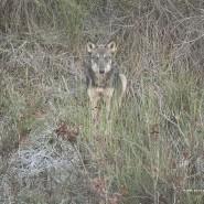 Lo sguardo e il fascino del lupo