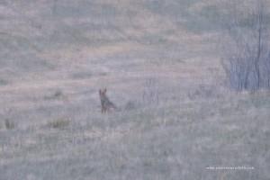Nel buio i lupi appaiano come delle macchie scure che si confondono con cespugli e ciuffi d'erba