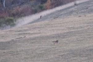 I lupi nella notte si muovono con sicurezza forse ci vedono meglio di noi.