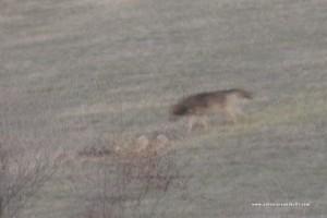 Ma con i tempi di scatto necessariamente lunghi i lupi appaiono completamente mossi.