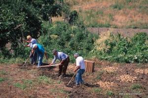 Scavatori di patate a San Severino Lucano