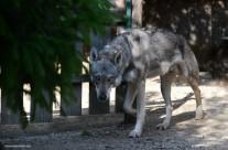 Il cane lupo di Saarloos