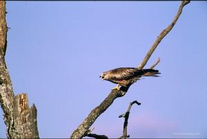 Posati sui vecchi rami o in volo i nibbi lanciano insistentemente i lor richiami