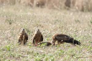 Una carcassa di volpe richiama diversi esemplari a nutrirsi