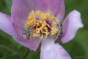 Al riparo nel fiore di peonia