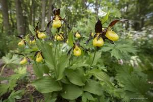 La scarpetta di Venere, Cypripedium calceolus, è un orchidea di montagna