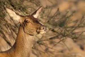 Cervo nobile, Cervus elaphus