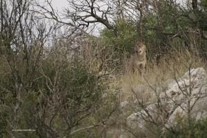 Canis lupus italicu. Maschio dominante