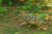 I lupi e il capriolo