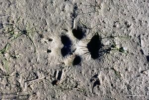 Canis lupus italicu, impronta su argilla