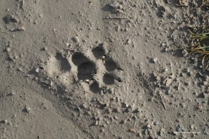 10 Canis lupus italicu, sovrapposizione dell'impronta posteriore su quella anteriore