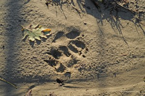 11 Canis lupus italicus, impronta nelle due direzione dello stesso animale