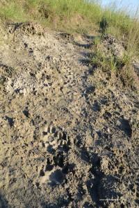 Canis lupus italicus, impronta su terreno bagnato di diversi esemplari della stesa famiglia