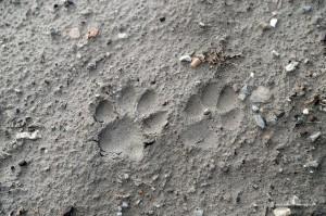 Il cane, Canis familiaris, lascia impronte appaiate