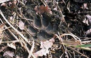 Canis lupus italicu, impronta su terreno bagnato
