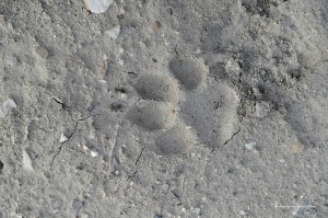 4 Canis lupus italicu, impronta su argilla