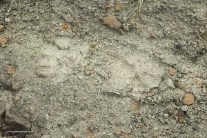 11 Canis lupus italicu, impronta sulla stessa pista di andata e ritorno