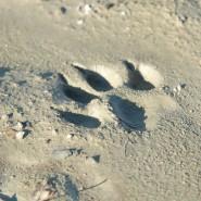 Come riconoscere le tracce dei lupi
