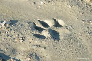 Canis lupus italicus, impronta su argilla molto bagnata sono evidenti i segni di tutte le unghie
