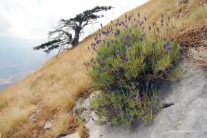 Loricanda, la lavanda selvatica del Pollino