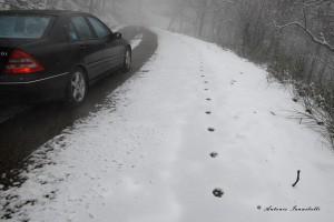 Canis lupus italicus. Che i lupi utilizzano anche le nostre strade con la neve diventa ancora più vero