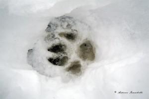 Canis lupus italicus. Neve alta ma compatta