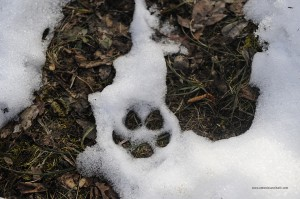 Canis lupus italicus. Quando la neve si scioglie anche le impronte svaniscono