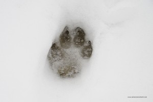 Canis lupus italicus.